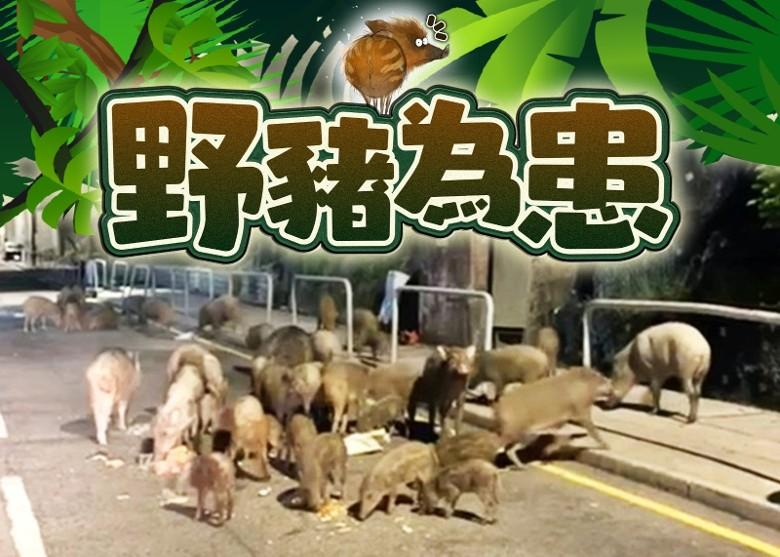香港市区野猪出没 歌手李玟母亲被袭击致多处骨折_图1-4