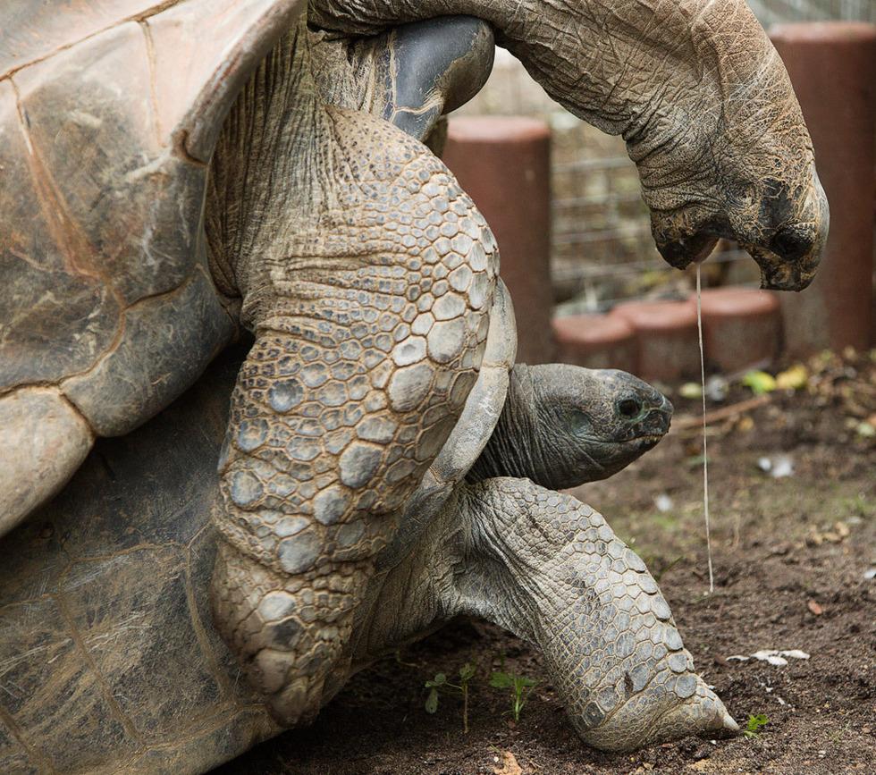 荷兰动物园罕见的象龟交配(组图)
