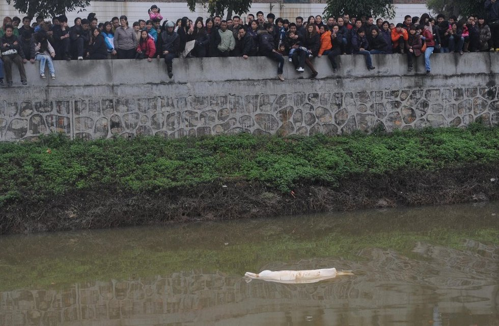 广东内河出现罕见中华白海豚