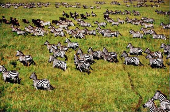 因此观赏动物大迁徙就成为非洲探秘之