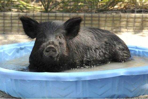 芝加哥动物园,两岁的美国豚鼠在泡在盆中降暑