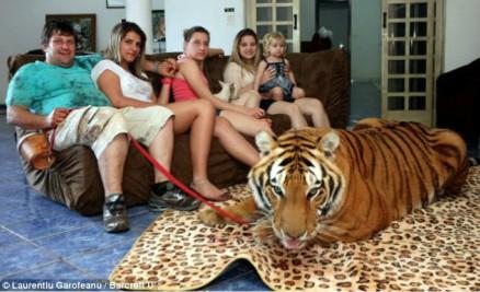 巴西土豪养老虎家中成猛兽乐园 外孙女喜欢骑老虎与其玩乐