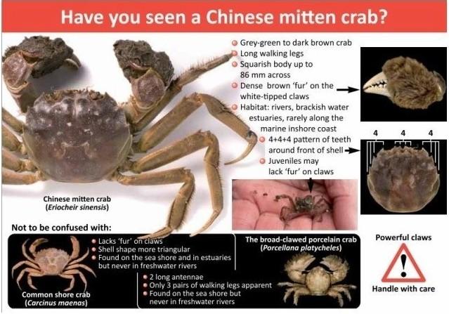 中国大闸蟹英文叫