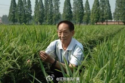 """袁隆平超级稻亩产988公斤 当代农神创新的记录引围观(组图)据中国之声《央广新闻》报道,由""""杂交水稻之父""""袁隆平院士科研团队攻关的国家第四期超级稻先锋组合Y两优900突破亩产988公斤,创下了全国水稻百亩连片高产新记录。这块超级稻的高产攻关示范基地就在湖南省隆回县的羊古坳乡的雷锋村杂交稻的平均高大概是128.9厘米,具有稻穗本身就特别大,而且高生物学的产量也就很高,他的茎和杆就有特别坚韧的这些一些特点。"""