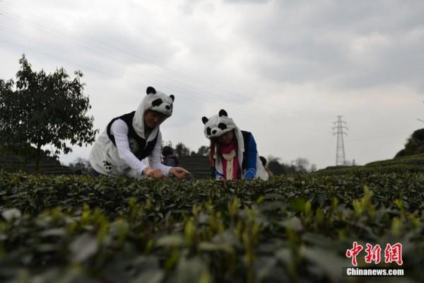 四川采茶女扮熊猫采天价