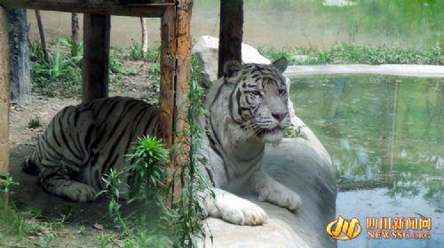 老虎好看的图片