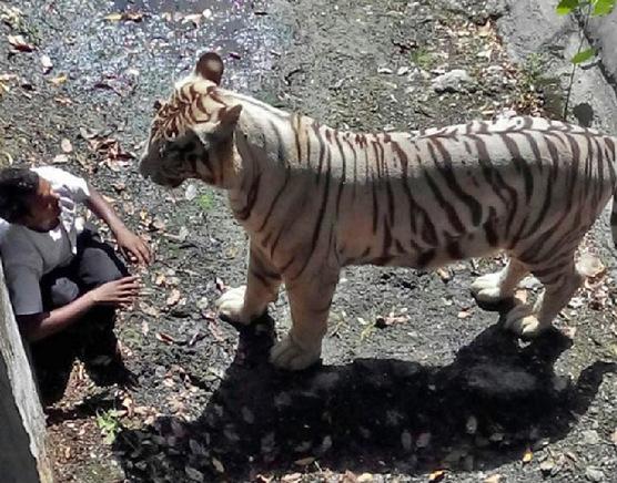 白虎喜欢被老公干屁眼视频_印度一男学生被动物园白虎咬死 曾向老虎求饶