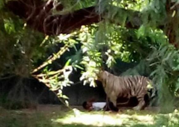 印度一男学生被动物园白虎咬死 曾向老虎求饶