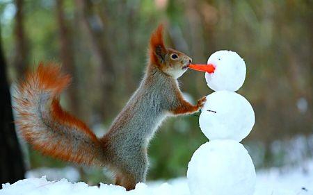 猴子玩手机,松鼠堆雪人,这些动物都要成精了吗?近日,在俄罗斯沃罗涅日州,一只红松鼠在当地森林里玩耍时,使用一根微小的胡萝卜和三个圆形的雪球堆好了一个完美的雪人。不少网友大赞,好聪明的松鼠,暖化了冬日的寒意。但也有理智的网友认为,也许是有人做了一个雪人,然后松鼠去吃那个胡萝卜。听到这里,小编也竟无言以对。