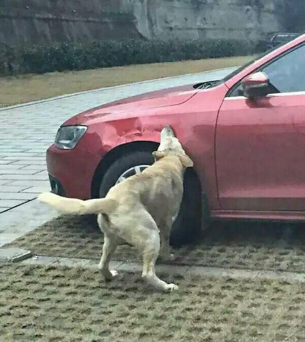 流浪狗因挡车位被踢 找来狗朋友毁车复仇逗乐网友(图)