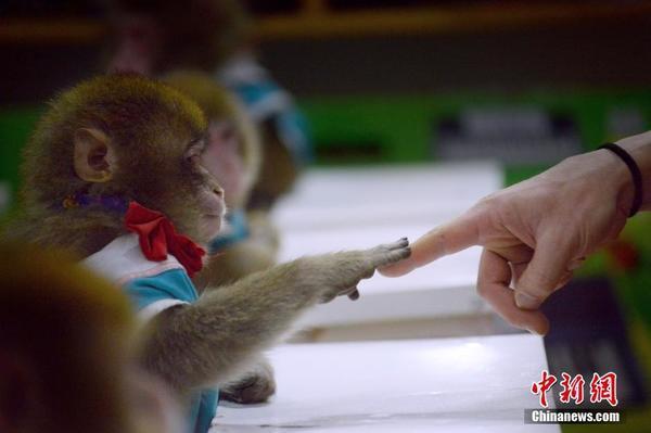 1月26日,山东东营,当地一动物园猴子培训学校进行彩排,12只猴子接受训练将参加猴年庆祝活动。 图片来源:视觉中国