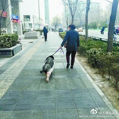 """大妈中关村遛猪好几年 小香猪变""""网红""""猪(图)"""