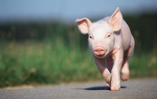 猪肉价格惊动世界 猪肉概念股再度崛起