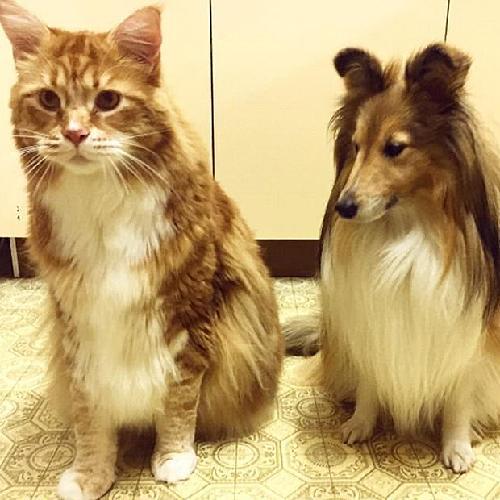 """澳大利亚""""网红猫""""体长1米2或打破吉尼斯世界纪录"""