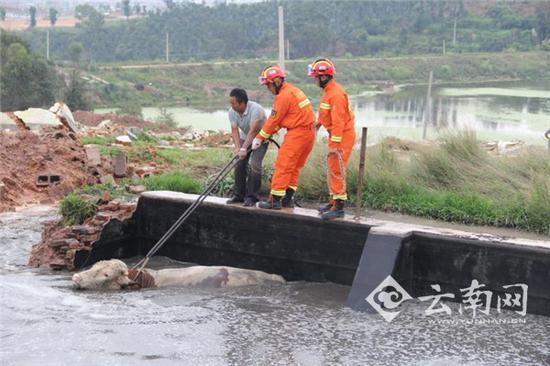 水牛落入猪粪池 民警找来挖掘机成功将水牛救了出来