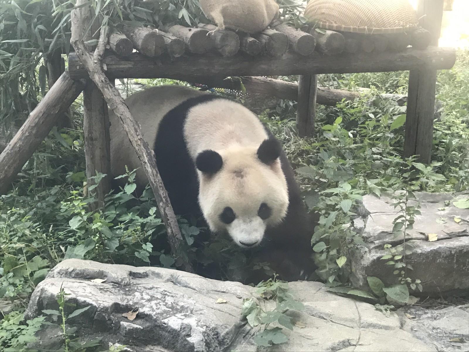 """北京网红大熊猫遭遇""""谢顶""""危机 园方:已上药,正恢复生长中_图1-4"""