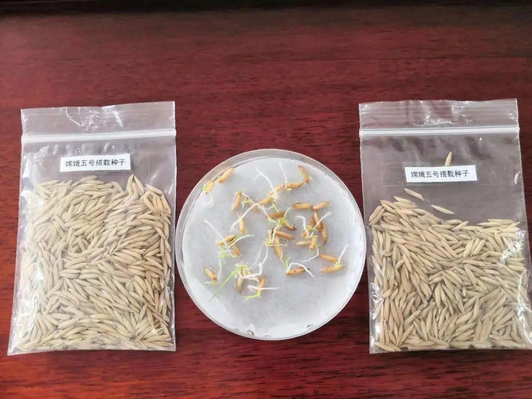 """和嫦娥五号一起""""上天""""的水稻种子发芽了_图1-4"""
