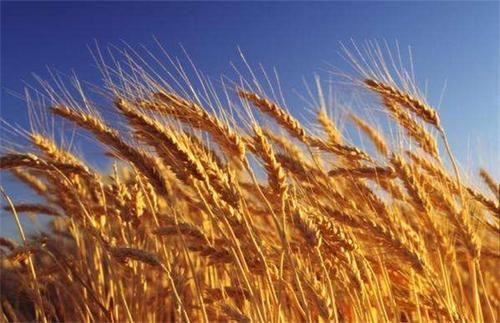 小麦价格行情今日小麦价格走势
