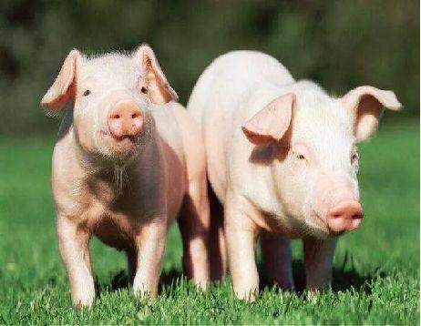猪肉价格今日价