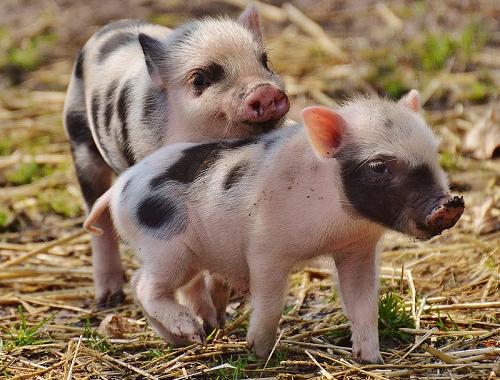 生猪价格最新行情2020