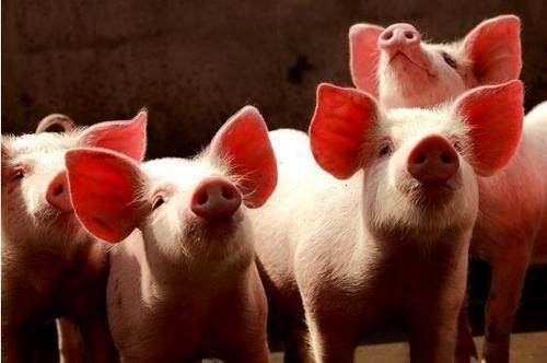 2021年猪价走势专家预测
