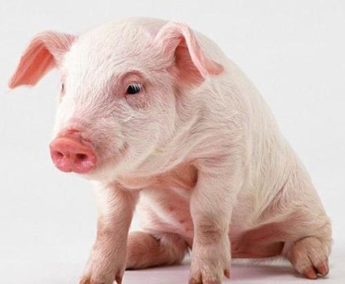 春节能吃到便宜猪肉