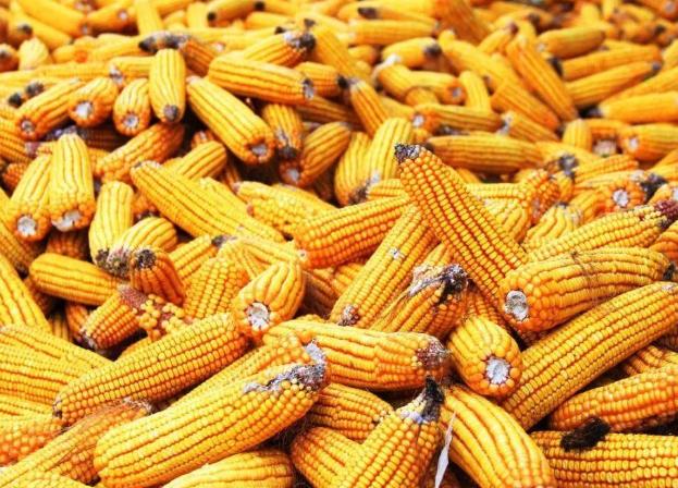 玉米今年价格.png