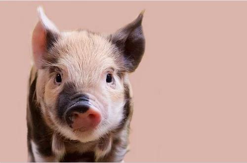 生猪价格同比降五成