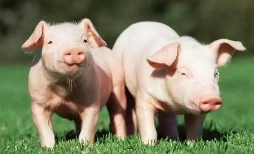 猪价多少钱