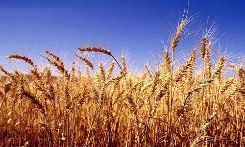 今天小麦的价格
