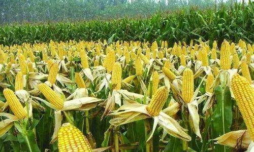 今天全国玉米价格